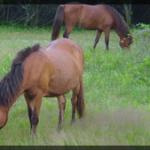 087-Animal-Assateague-DSC00053